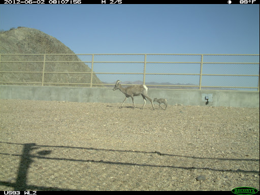 Female big horn sheep and lamb uses wildlife crossing over US 93