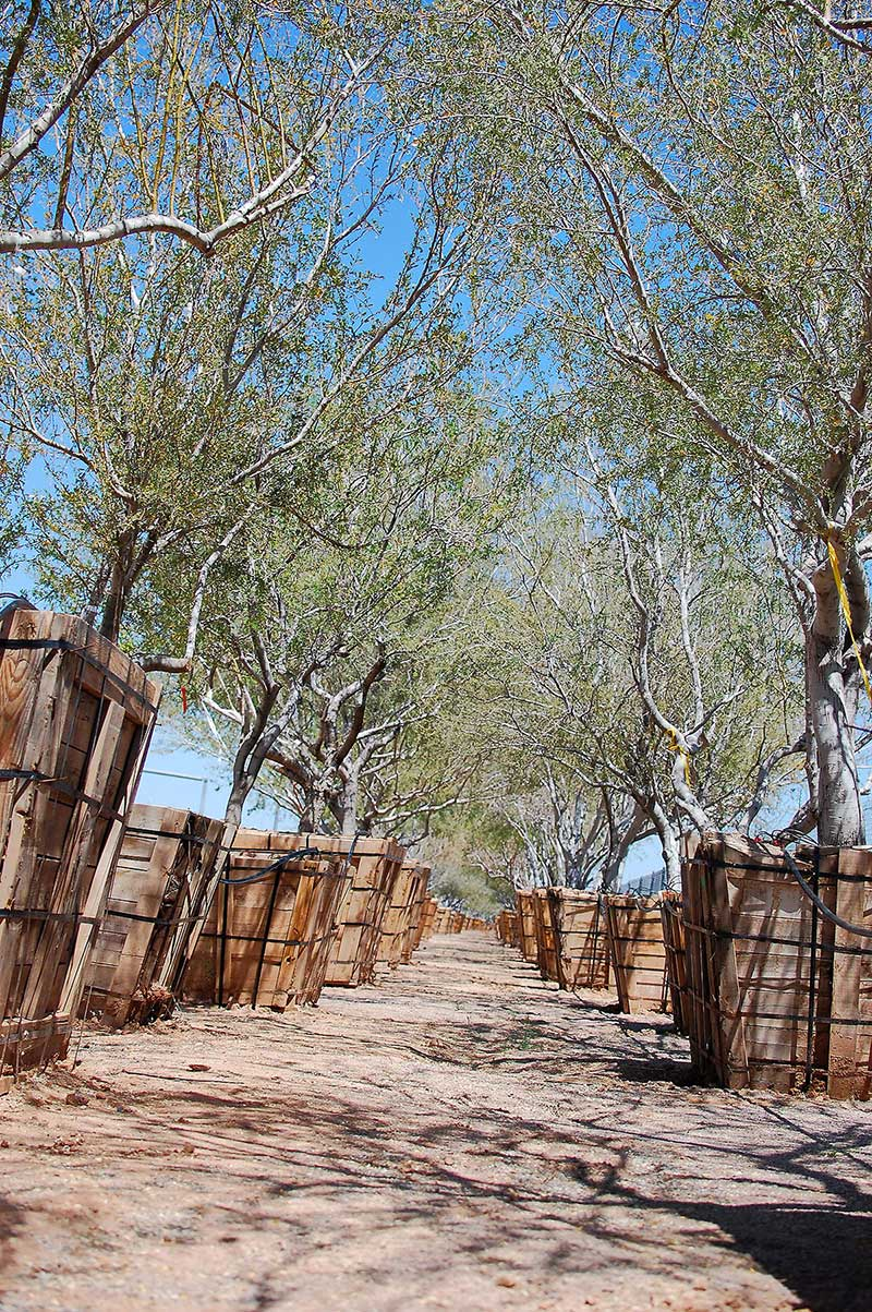 Ironwood trees