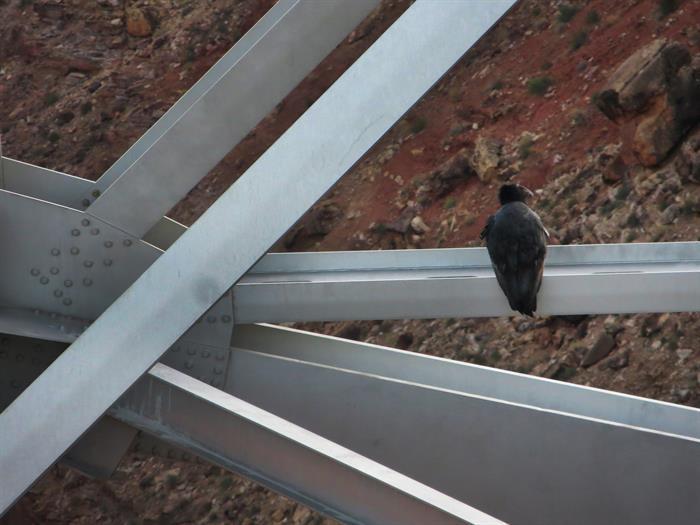 California Condor on US 89 Navajo Bridge