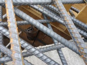 Ringtail raccoon under the lattice of rebar