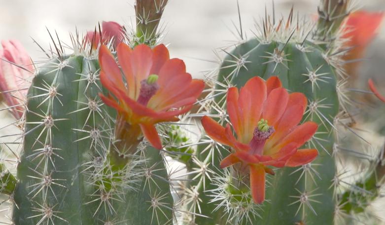 Endangered cactus preservation Desert Botanical Garden Pinto Creek bridge 2