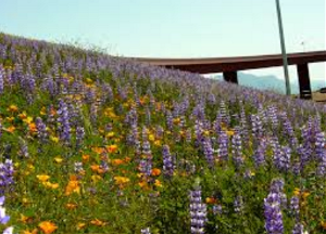 Flowers planted by ADOT alongside the highway