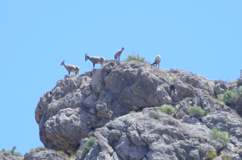 Big horn sheep helped by US 93 wildlife crossings