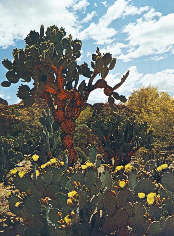 Boyce cactus