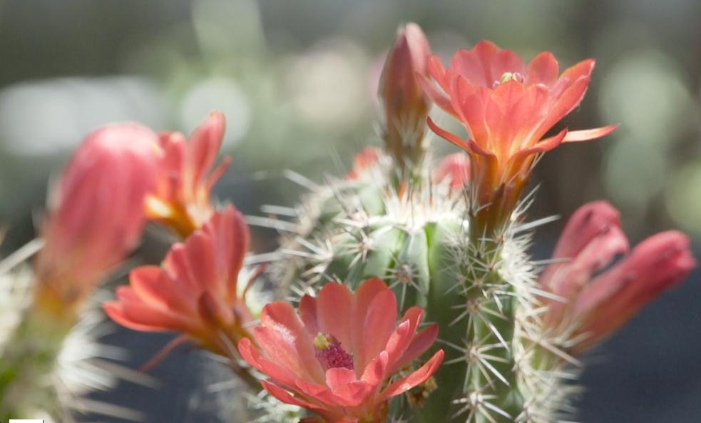 Endangered Cactus