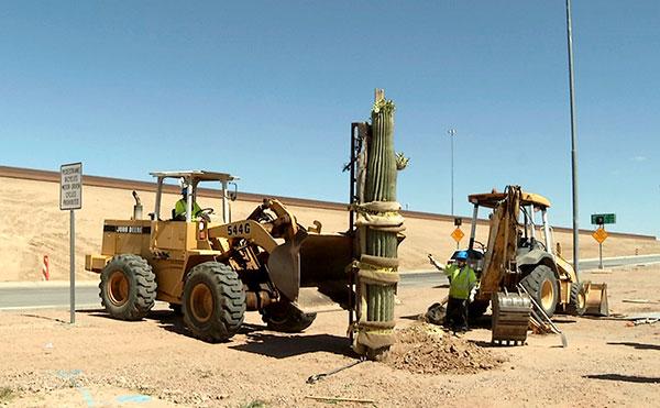 Replanting a Saguaro Cactus on Loop 101