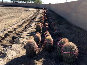 Cactus to be used for South Mountain Freeway landscaping