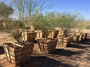 Trees to be used for South Mountain Freeway landscaping