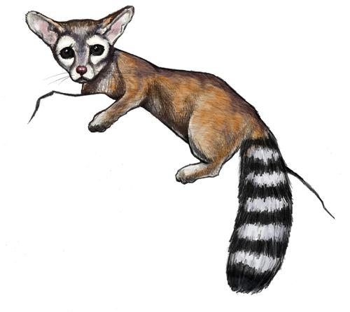 Drawing of the ringtail that appears on the new AZ driver license