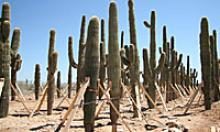 Replanted trees and cacti along Loop 303