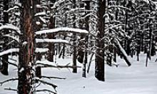 Forest blanketed in snow