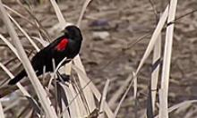 Black bird with red spot on its wing sits among light brown foliage
