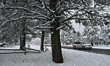 Snowy tree with car traveling a road in the background