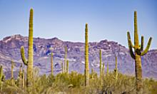 Saguaro cacti framed by purple mountains majesty